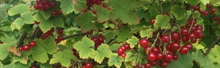 Le temps des fruits rouges